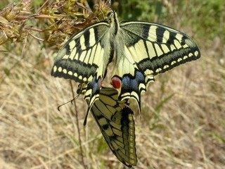 Swallowtails mating